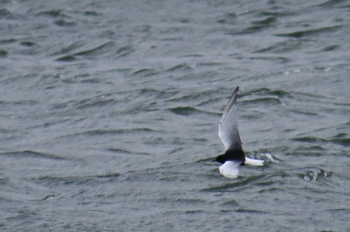 IMG_8656 WW Black Tern