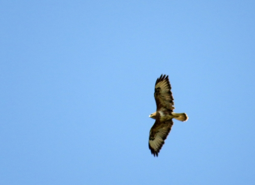 IMG_8687 Common Buzzard
