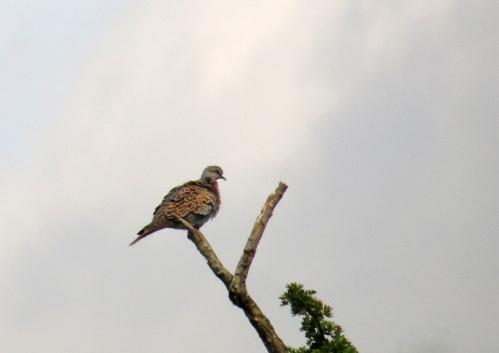 IMG_8728 Turtle Dove