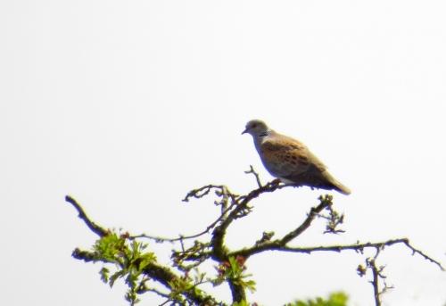 IMG_8761 Turtle Dove