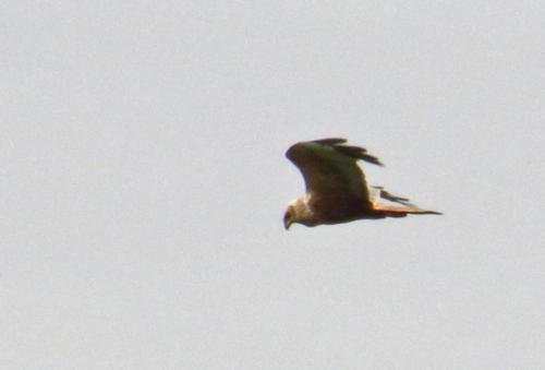 IMG_8824 Marsh Harrier edit