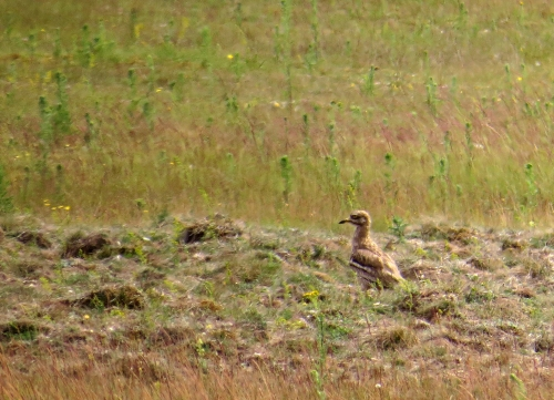 IMG_8886 Stone Curlew