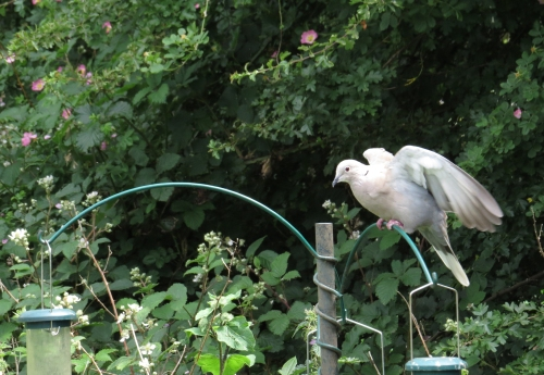 IMG_8948 Collared Dove