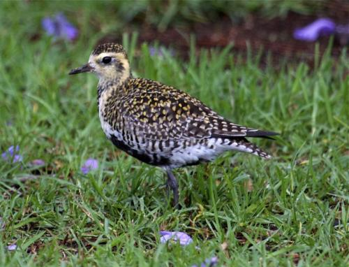 Pacific Golden-plover Ken Harvard Hawaii