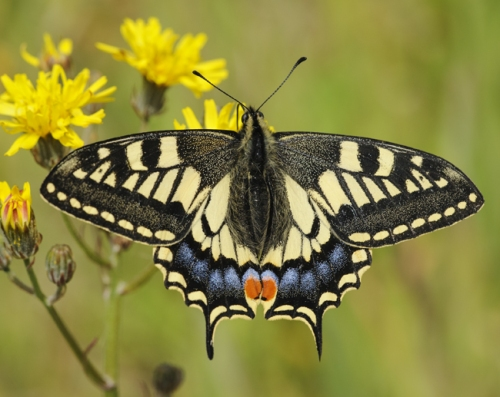 Swallowtail Butterfly (Papilio machaon britannicus). Strumpshaw Fen, Norfolk