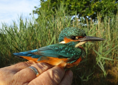 IMG_6339 Kingfisher