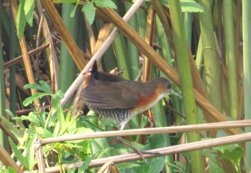 IMG_9137 Rufous-sided Crake