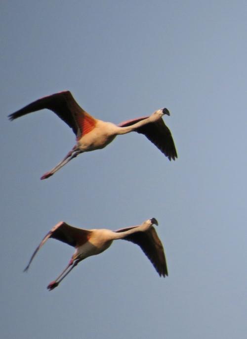 IMG_9258 Chilean Flamingos