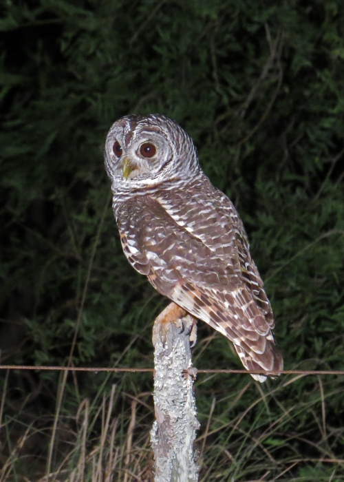 IMG_9376 Chaco Owl