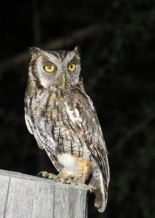 IMG_9388 Tropical Screech Owl