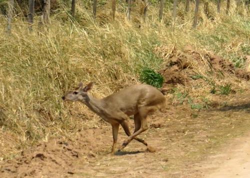 IMG_9428 Grey Brocket Deer