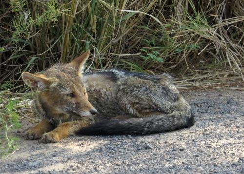 IMG_9440 Pampas Fox