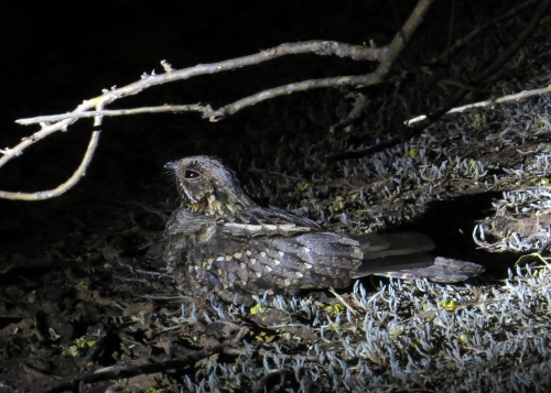 IMG_9564 Little Nightjar