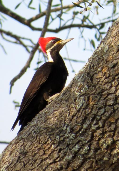 IMG_9710 BB Woodpecker