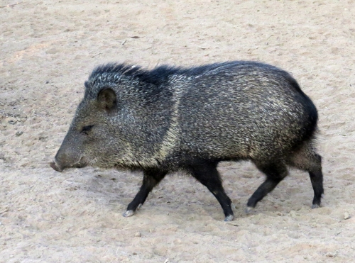 IMG_9732 Collared Peccary