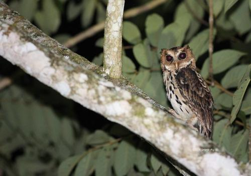 Giant Scops Owl, Irene By, Mindanao, Phillipines