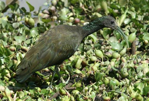 Green Ibis Aleix Comas Pantanal Brazil