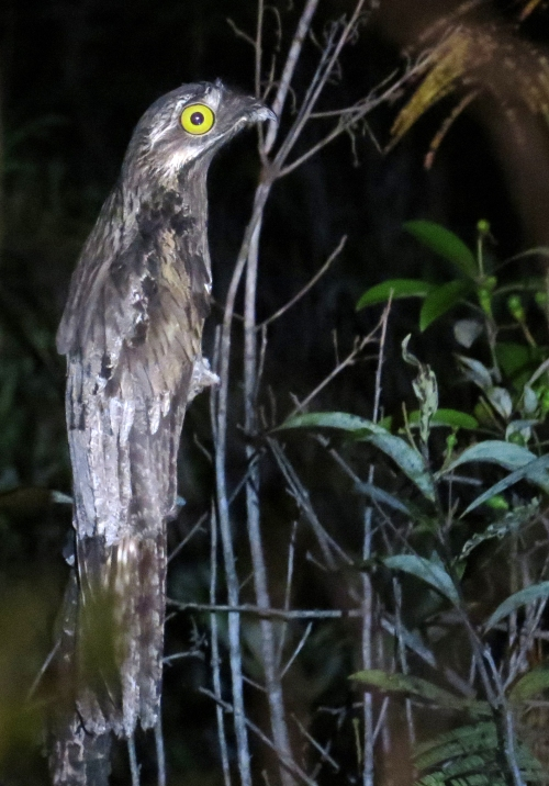 IMG_0332 Common Potoo