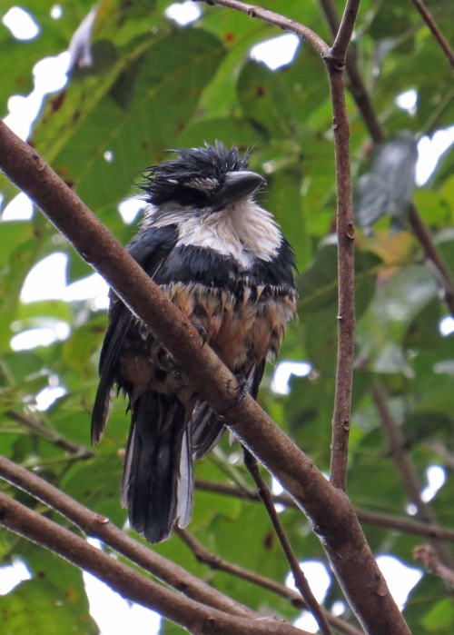 IMG_0519 Buff-bellied Puffbird