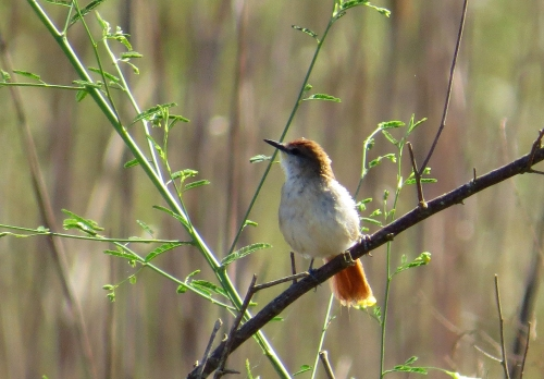 IMG_0628 YC Spinetail