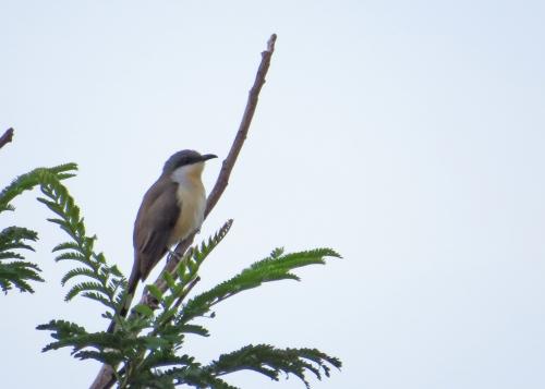 IMG_1306 Dark-billed Cuckoo