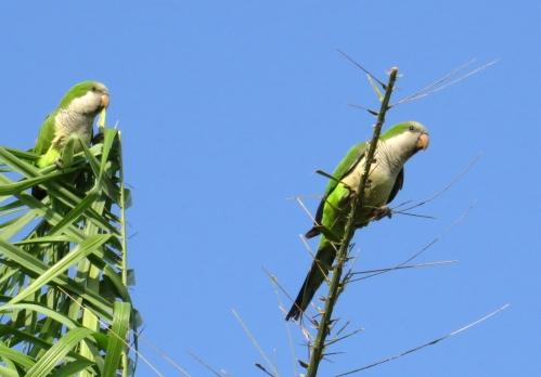 IMG_1346 Monk Parakeets