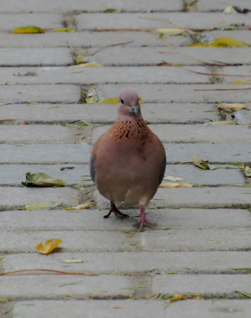 IMG_1361 Laughing Dove
