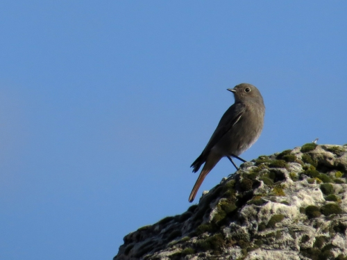 IMG_1816 Black Redstart