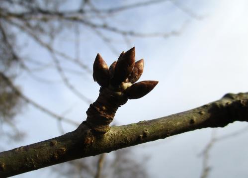 IMG_6728 tree bud