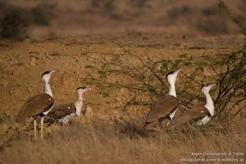 Great Indian Bustard Arpit Deomurari Gujarat IBC