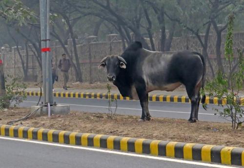 IMG_2271 Bull in Delhi