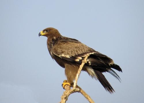 IMG_2459 Steppe Eagle