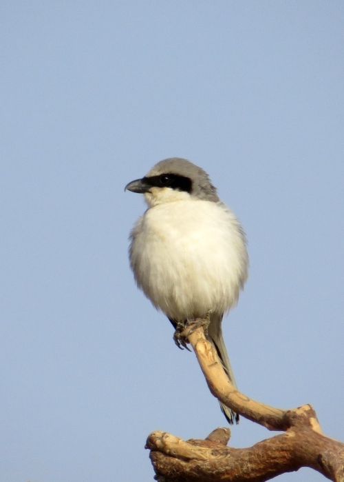 IMG_2462 Southern Grey Shrike
