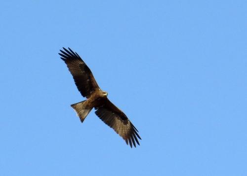 IMG_2473 Black Kite