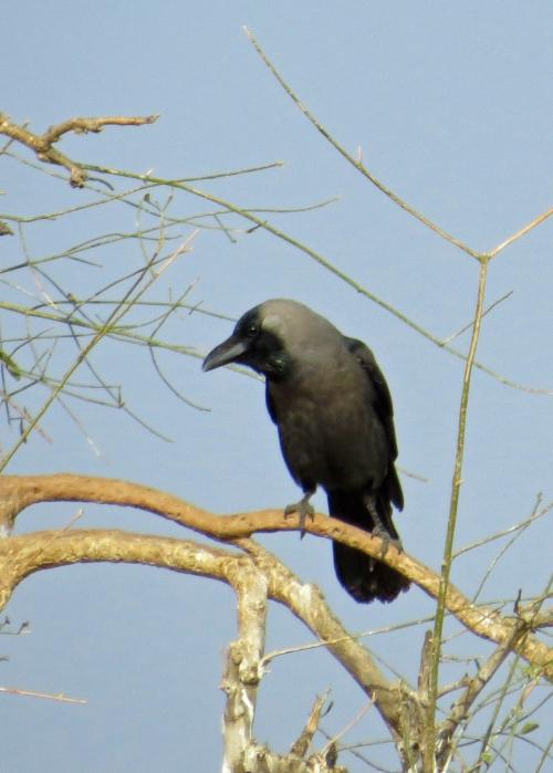 IMG_2480 House Crow