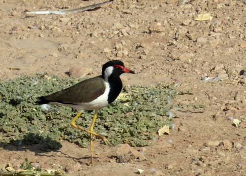 IMG_2571 Red Wattled Lapwing