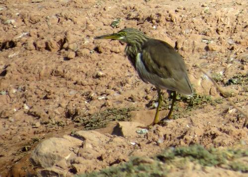 IMG_2595 Pond Heron