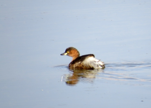 IMG_2601 Little Grebe