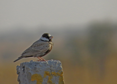 IMG_2674 BC Sparrow-lark