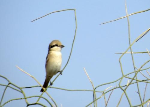 IMG_2729 Daurian Shrike