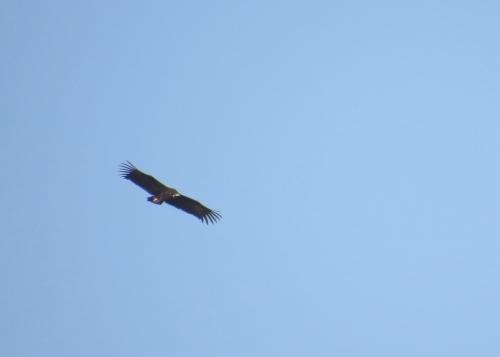 IMG_2773 Black Vulture