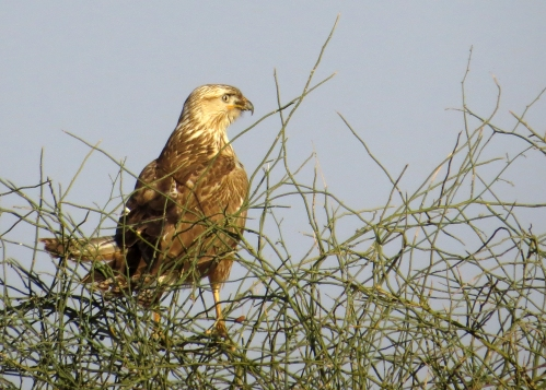 IMG_2780 Long-legged Buzzard