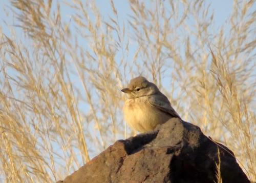 IMG_2817 Desert Lark