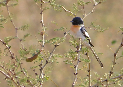 IMG_3020 White-bellied Minivet