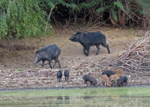 IMG_3031 Wild Boars