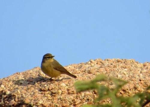 IMG_3054 Sulphur-bellied Warbler