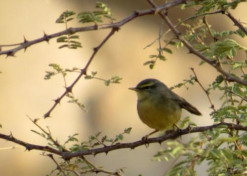 IMG_3059 Sulphur-bellied Warbler