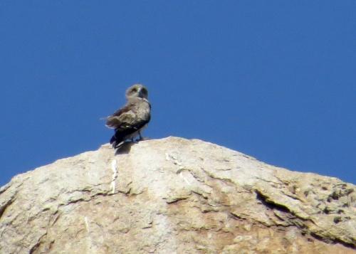 IMG_3100 ST Eagle