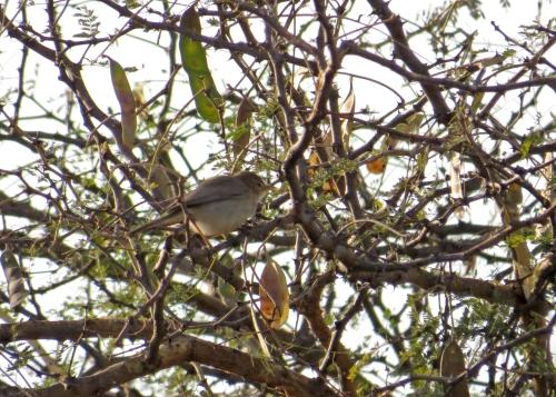 IMG_3124 Syke's Warbler