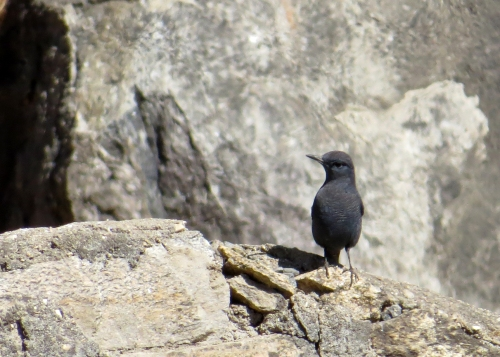 IMG_3150 Blue Rock Thrush